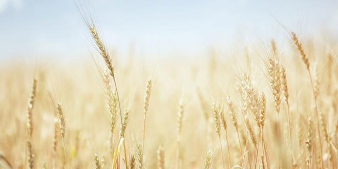 a field of wheat
